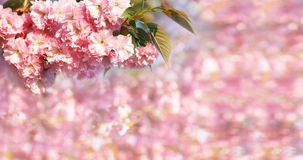 Cherry blossom branch with pink bokeh in background. Stock Image