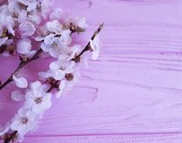 Cherry blossom branch on a pink wooden background royalty free stock image