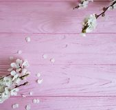 Cherry blossom branch decorative vintage spring on a pink wooden background. Cherry blossom branch a pink wooden background spring vintage fresh decorative stock image