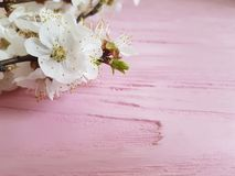 Cherry blossom branch close-up decorative vintage spring on a pink wooden background. Cherry blossom branch a pink wooden background spring vintage fresh stock photography