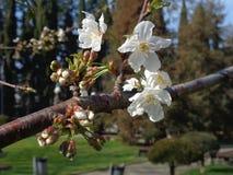 Cherry blossom branch. Sakura blossoms in city park Stock Image
