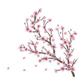 Cherry Blossom Branch. Soft pink cherry blossom flowers on branch over white background Stock Photo