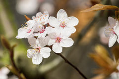 Cherry Blossom. On the branch on the spring cloudy day Stock Photo