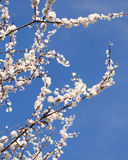 Cherry blossom branch on a sunny spring day on blue sky Stock Images