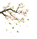 Cherry Blossom, Branch of Tree with Flying Petals Isolated Royalty Free Stock Images