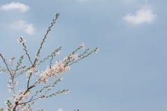 Cherry blossom branch Royalty Free Stock Photos
