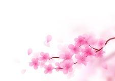 Cherry Blossom Branch Vetora Imagem de Stock Royalty Free