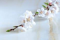 Cherry blossom Stock Photography