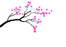 Cherry blossom branch on white background,Vector illustration Royalty Free Stock Images