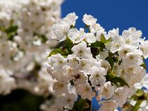 Cherry blossom on branch Royalty Free Stock Photos