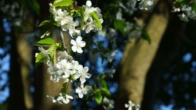 Cherry blossom branch with white flowers. Cherry blossom branch with white flowers and flying stock video