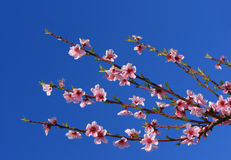 Cherry Blossom Branches Stock Photo