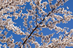 Cherry blossom branches Stock Images