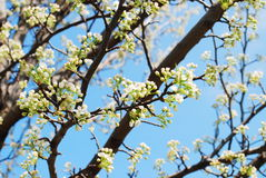 Cherry blossom branches Stock Photos
