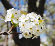 Cherry blossom branches Royalty Free Stock Image