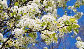 Cherry blossom branches Stock Image
