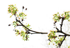 Cherry blossom branches Royalty Free Stock Images