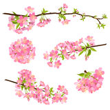 Beautiful Vector Cherry Blossom Branches - Japanese Sakura Flower. Beautiful Vector Cherry Blossom Branches Collection - Set. Japanese Traditional Eve. Sakura royalty free illustration