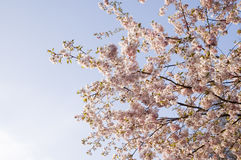 Cherry blossom. Branches of a blooming cherry tree with pink blossoms Royalty Free Stock Photo