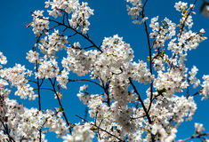 Cherry blossom branches. Braches of cherry blossom tree Royalty Free Stock Photo