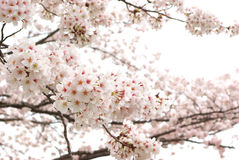 Cherry blossom branches in full blossom. Stock Photos