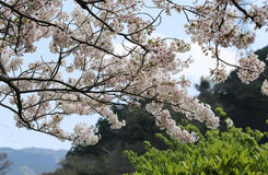 Cherry Blossom Branches in a Garden with Mountains in the back Royalty Free Stock Photography