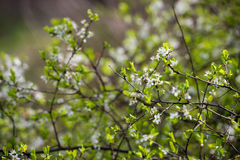 Cherry blossom branches Royalty Free Stock Photo