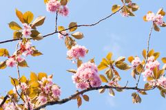 Cherry blossom branches. In the spring royalty free stock images
