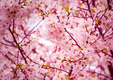 Cherry blossom. Branches of cherry blossom tree Stock Photos