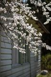 Cherry blossom in bright backlight against the wall of the house royalty free stock image