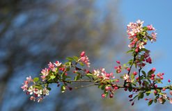 The cherry blossom in the bright blue sky Stock Images