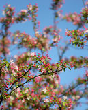 The cherry blossom in the bright blue sky Royalty Free Stock Photography