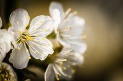 Cherry blossom Stock Photo