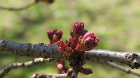 Cherry Blossom Budding lizenzfreie stockbilder