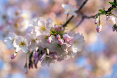 Cherry Blossom Buds Royalty-vrije Stock Afbeelding