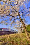 Cherry blossom and bullet train Stock Images