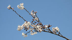 Cherry blossom. A bunch of cherry blossom Royalty Free Stock Photography