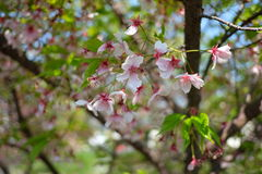 Cherry Blossom on bunch falling and some still that remain the time pass. Nothing last forever Stock Photo