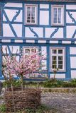 Cherry Blossom bush in front of half-timbered house. Cherry Blossom bush in front of blue half-timbered house in Eltville, Rheingau, Hesse, Germany Royalty Free Stock Images
