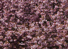 Cherry blossom bush. Pink cherry blossom bush during spring Royalty Free Stock Photos