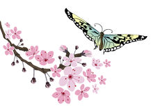Cherry blossom and butterfly. Sakura flowers  on white background Royalty Free Stock Photos