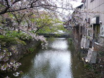 Cherry Blossom Canal Stock Image