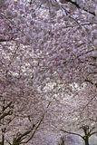 Cherry Blossom Canopy at Spring Time. Cherry Blossom Trees Canopy at Spring Time Portland Oregon Stock Image