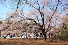 Cherry blossom celebration, Tokyo, March 2010 Royalty Free Stock Image