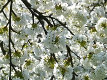 Cherry Blossom, Cherry, Blossom Stock Photography