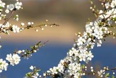 Cherry blossom. In Copenhagen Denmark Stock Photography
