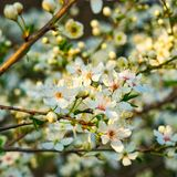 Cherry blossom on cherry tree Royalty Free Stock Photos