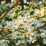 Cherry blossom on cherry tree