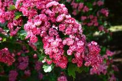 Cherry Blossom, Cherry Tree Royalty Free Stock Photos