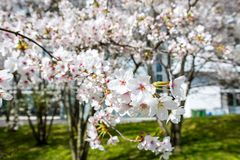 Basel, Cherry blossom, Cherry tree in full bloom Royalty Free Stock Images